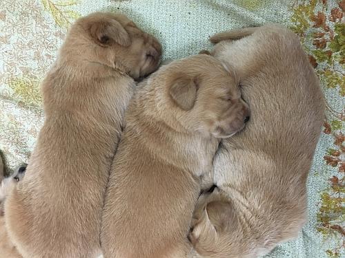 Nuovi nati! Nuovi cuccioli di Golden Retriever!