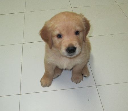 Nouss Dream Allevamento Amatoriale Golden Retriever