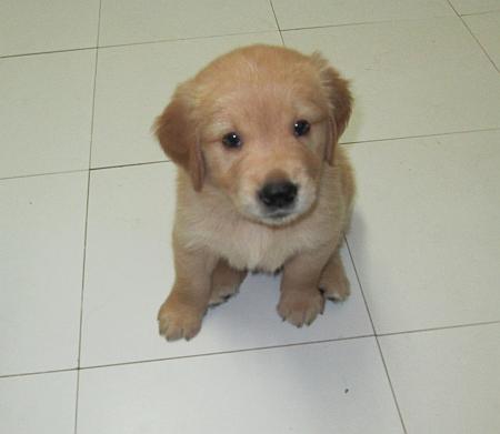 Hello! sono uno dei nuovi cuccioli di Golden Retriever